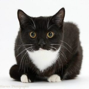 http://www.warrenphotographic.co.uk/photography/bigs/39193-Black-and-white-cat-crouching-white-background.jpg